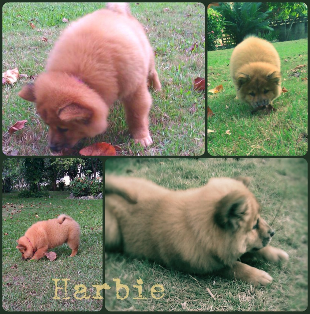 chow chow harbie-