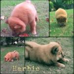 Harbie, un cachorrito chow chow