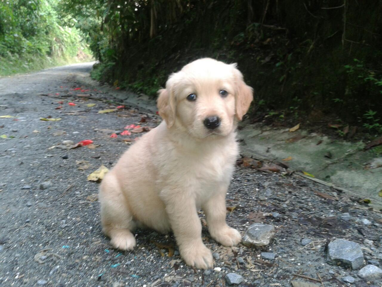 macho de golden retriever