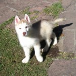 1324365734_292875334_5-Cachorros-Siberian-Husky-perritos-Husky-Siberiano-perritos-Distrito-Federal