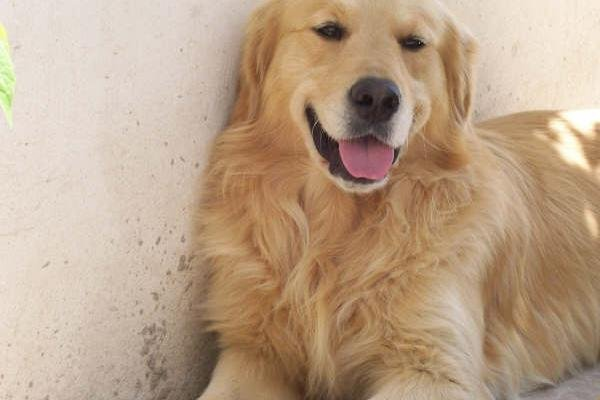 perro-golden-retriever-115-1