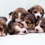 camada cachorros beagle
