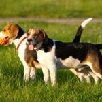 Beagle dos perros