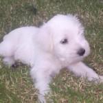 1369771106_513965976_1-Fotos-de-Schnauzer-miniatura-hembras-blancas-un-sueno1