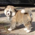 American_Akita_puppy