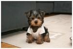 adorable-cute-dog-perritos-puppie-Favim.com-182963