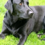 Labrador_Retriever_6444-1