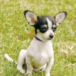 cachorro-chihuahua