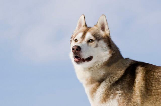 Husky siberiano precioso