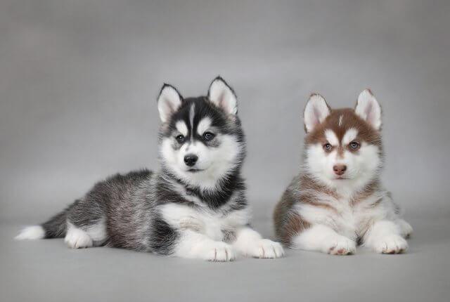2 cachorros de husky con 3 meses