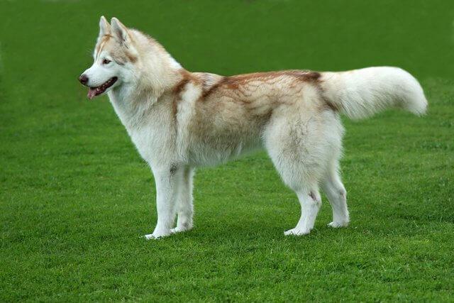 Husky grande hembra con 2 años