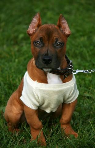 Cachorro de pitbull macho con camiseta blanca