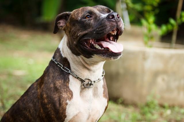 Pitbull macho bicolor sonriendo