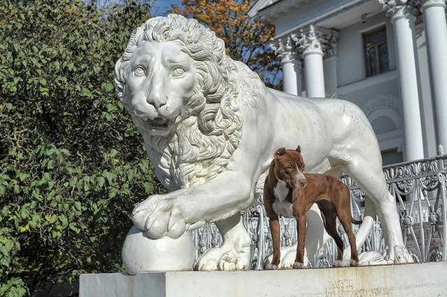 Hembra pitbull blanca y marrón junto a la estatua