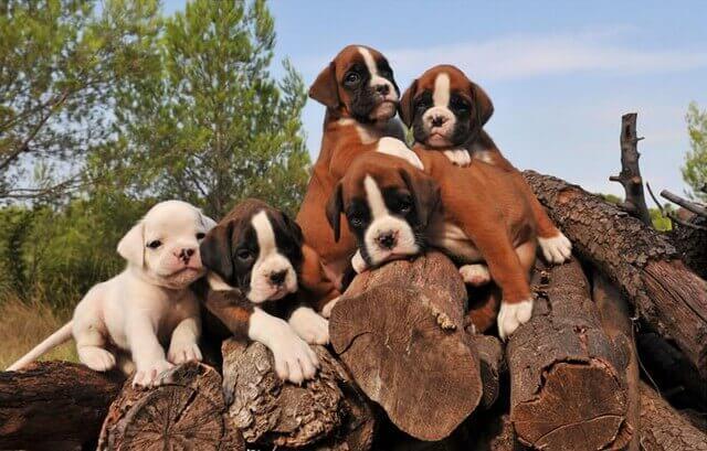Cachorros de Bóxer encima de unos troncos