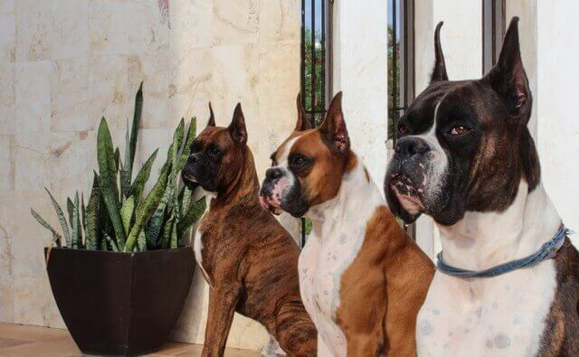 3 bóxer adultos mirando al frente