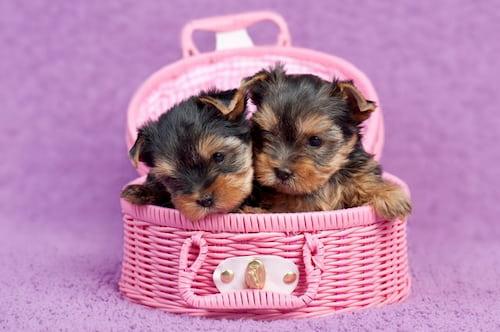 Cachorros pequeños de yorkshire terrier