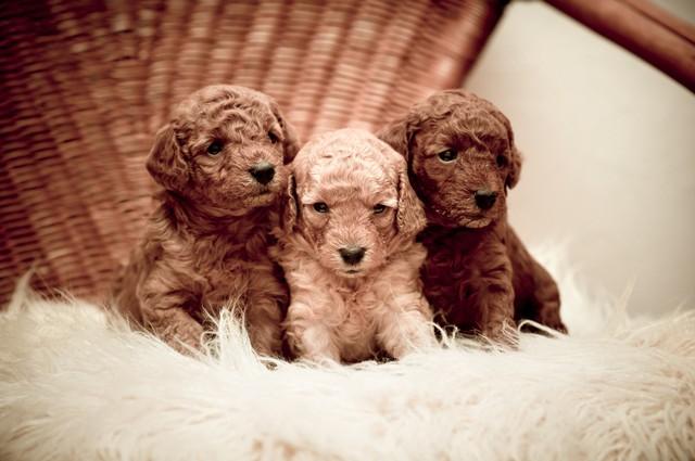 Tres cachorros de caniche con 2 meses de edad