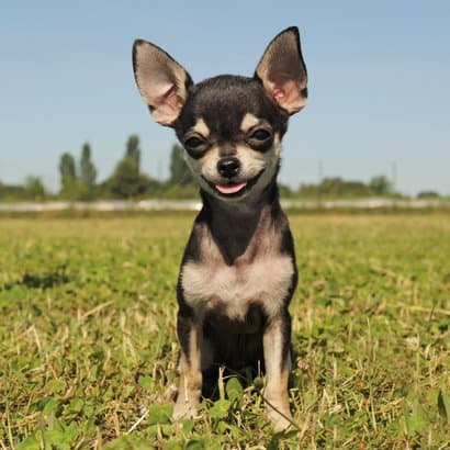 Chihuahua color negro