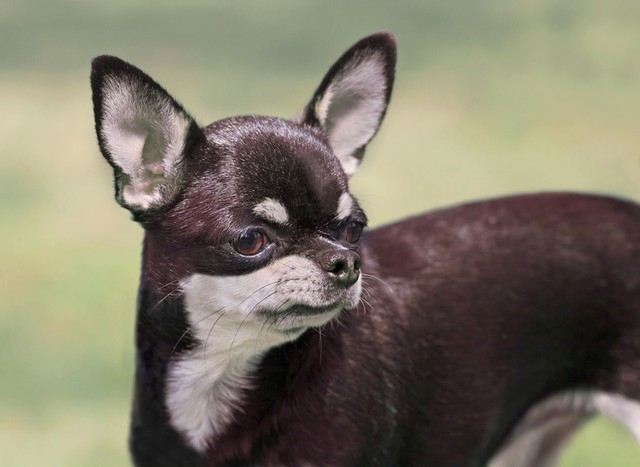 Chihuahua negro y gris