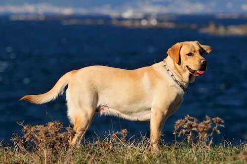 Labrador amarillo macho con 3 años