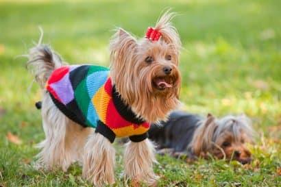 Hembra y macho de yorkshire terrier