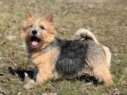 Nombres para norwich terrier