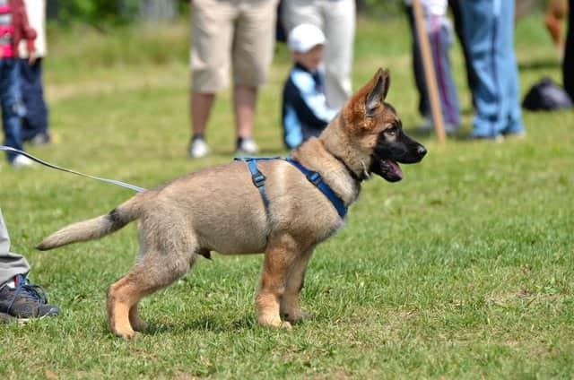 Cachorro de pastor alemán con 3 meses