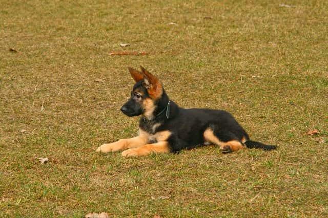 Tres cachorros pastor alemán tumbado