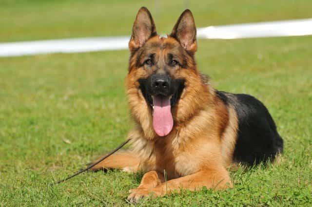 Resultado de imagen para perros Pastor alemán