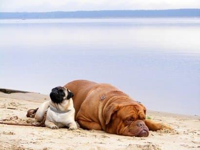 Dogo de burdeos y carlino tumbados en la playa