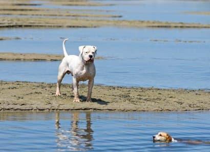 Dogo argentino grande en la bahía