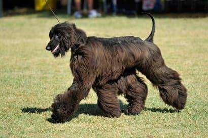 Lebrel afgano de pelo negro