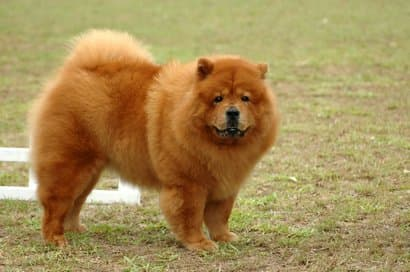 Chow chow adulto con 4 años