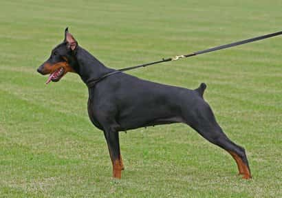 Hembra de doberman color negro