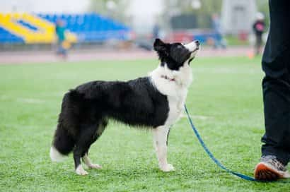 Border collie adulto blanco y negro