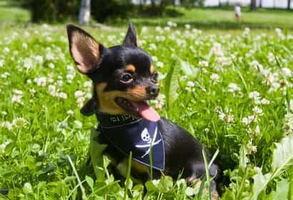 Cachorro de chihuahua negro