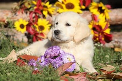 Cachorro de golden retriever con 3 meses