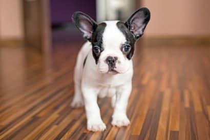 Cachorro de Bulldog Francés