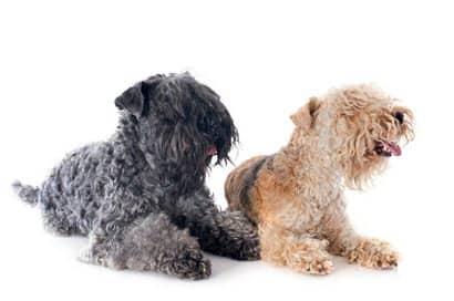 Nombres originales para perro kerry Blue terrier