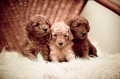 Cachorros de caniche marrón con dos meses