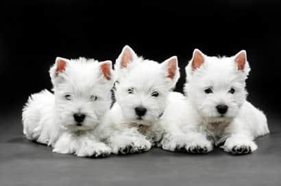 Tres Cachorros de westy blancos