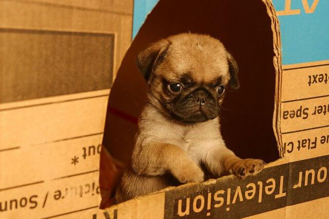 Cachorro de Carlino con 2 meses