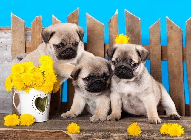 Tres cachorros de pug con girasoles amarillos