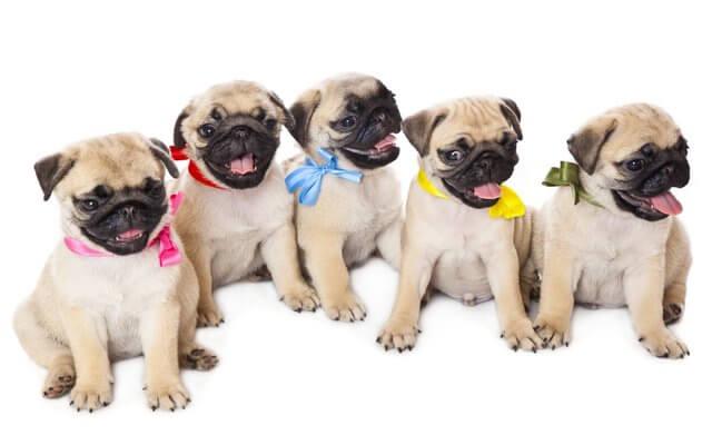 Cachorros de pug con lazos de colores