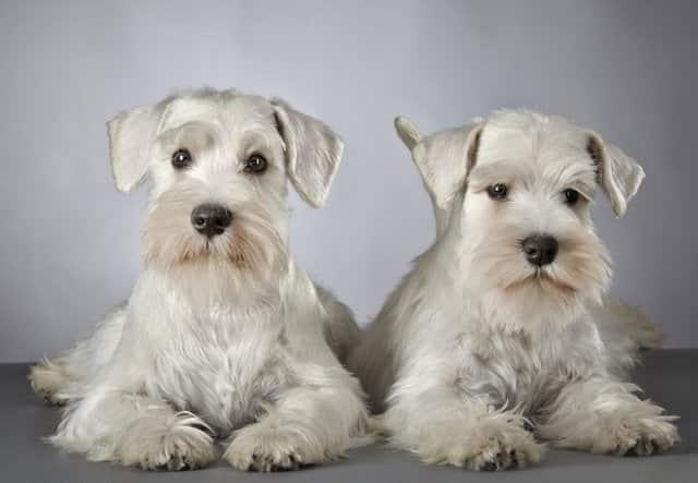 Dos perros schnauzer macho y hembra