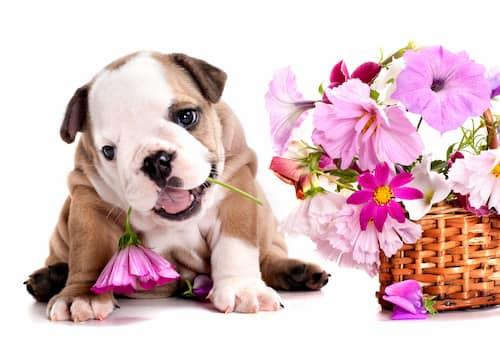Perro inglés bulldog