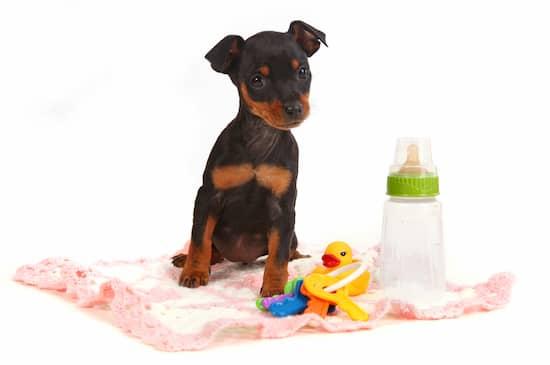 Cachorro de dóberman con 2 meses
