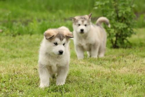 Cachorros de alaska