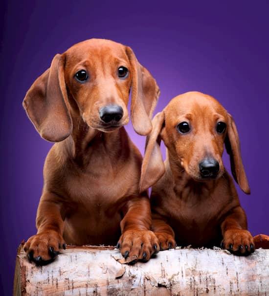 dos perros salchicha, macho y hembra